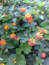 Resultado de imagen para planta lantanas arbustivas
