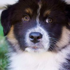 Bandit the Australian Shepherd