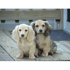 Sommer Haus Distinguished Dachshunds Dachshund Breeder in York . Super Cute Puppies, Cute Dogs And Puppies, Baby Puppies, Baby Dogs, Pet Dogs, Doggies, Weenie Dogs, Dachshund Puppies, Dachshund Love