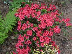 Rhododendron 'Vuyk's Scarlet' Azalea. 2-3' tall x 3-4' wide. Part sun.