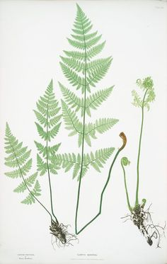 Lastrea spinulosa. [The narrow prickly-toothed buckler fern]