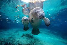 West Indian Manatees - Crystal River, Florida (by James R.D. Scott)