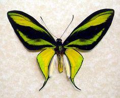 rare butterflies - Cerca con Google