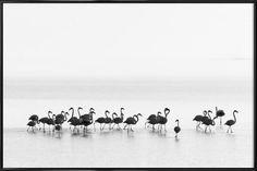 Flamingos - Joan Gil Raga - 1x - Poster in kunststof lijst