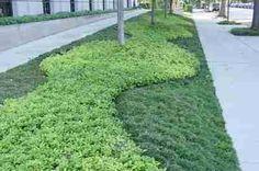 juniperus horizontalis wiltonii