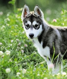 Such a beautiful breed, the Siberian Husky. ♥