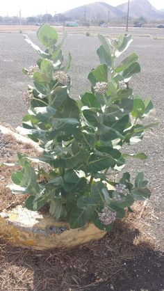 La planta de algodoncillo.