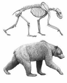 Agriotherium africanum, short-faced bear. - AGRIOTHERIUM est un genre éteint de Ursidae du Miocène, avec des fossiles trouvés dans des strates du Néogène de l'Amérique du Nord, de l'Afrique, de l'Europe et de l'Asie. Il vécut de 13,6 à 2,6 Ma, soit pendant 11,1 Ma environ.