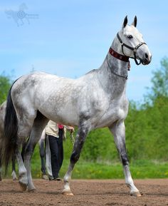 "Akhal-Teke. выводка ахалтекинских жеребцов на 20-летии НОУ ""Манеж"" Work Horses, Horses And Dogs, Animals And Pets, All The Pretty Horses, Beautiful Horses, Animals Beautiful, Akhal Teke Horses, Horse Ears, Horse Breeds"