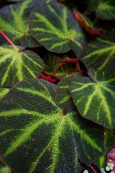 Begonia masoniana (2) (a mislabel, this is B. soli-mutata or one of its hybrids I believe) @lilbrownfrogs