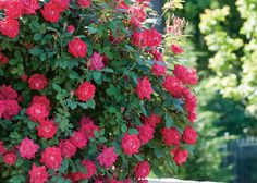 Autumn is the time of year to plant Knockout Roses. Be sure to choose a location with morning light. They will reward with blooms from early spring through the next fall. Discover more shrubs to plant this fall at The Home Depot's Garden Club.