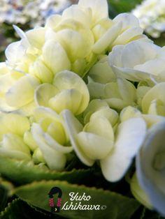 Ajisai Beach Foods Meals Flowers Hawaiian Plants