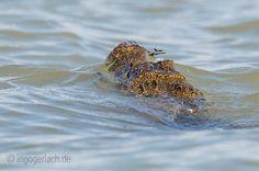 Libelle auf Croc.   Lake Baringo.   Kenia.    Mehr www.shop.ingogerlach.de