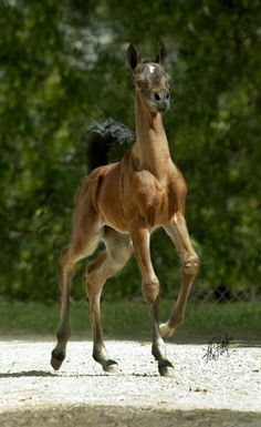 """I'm here, ready for my adoring fans!""  Spunky Arabian foal"