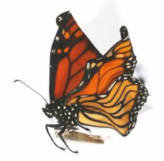 The public is being asked to stick by monarch butterflies and help determine the extent of their plight at the hands of a nasty parasite.  Victoria University entomologist Phil Lester is investigating the prevalence of a disease affecting monarch butterflies, caused by a protozoan parasite Ophryocystis elektroscirrha (OE), which leads to deformed wings.