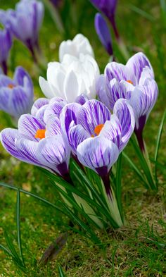 crocus - This means Spring!!