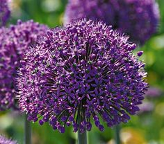 Allium Stratos: Plant near garden next year to ward off chipmunks, deer, and maybe those wretched squirrels.