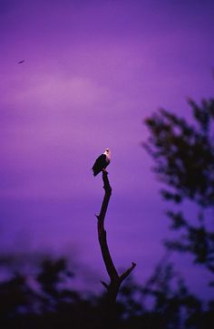 Fish Eagle, Chobe, Botswana - 1994 by laurieciao Colors of Spring 2013 African Violet #spadelic #pantone