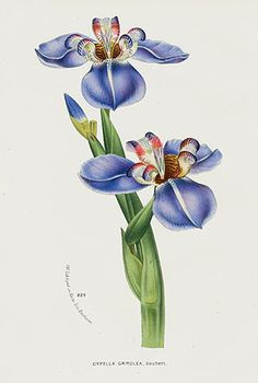 1845 Van Houtte Antique Flower Prints Blue Poppy, Iris, Lily, Pansy, Crocus