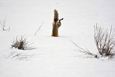 A red fox dives headfirst into the snow to catch a mouse. National Geographic photo contest 2012 - The Washington Post National Geographic Fotos, Photographie National Geographic, National Geographic Photo Contest, National Geographic Photography, Wildlife Photography, Icon Photography, Wyoming, Photography Competitions, Photography Contests