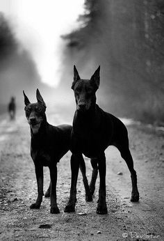 Black and white Doberman Pinschers. Doberman Pinscher dog art portraits, photographs, information and just plain fun. Also see how artist Kline draws his dog art from only words at drawDOGS.com #drawDOGS http://drawdogs.com/product/dog-art/doberman-pinscher-dog-portrait-by-stephen-kline/