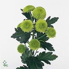 Feeling is a button green variety of spray chrysanthemum. Spray chrysanths are multi-headed, approx. 70cm tall & wholesaled in 20 stem wraps.