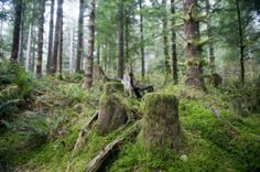 Stumps remain  on forestland in an area of the 3,700-acre Bear Creek watershed near Astoria, Oregon