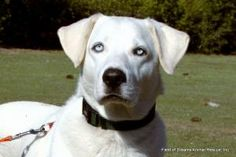 Sky is an adoptable Labrador Retriever Dog in Oviedo, FL. Sky is a gorgeous adult Lab/Husky mix, who is really sweet and would make a great family dog, loves kids and does well with other dogs and ki...
