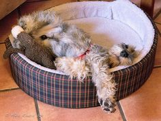 Comfy??   Who's this Sleeping Beauty by Mikel Roncal #Miniature #Schnauzer