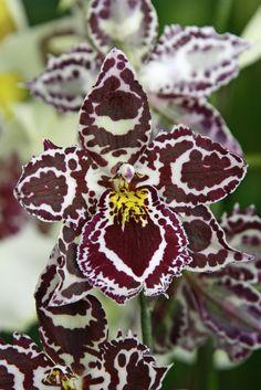 #Orchidée tigrée Plus