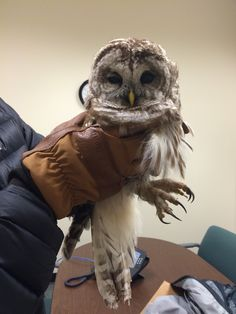 Speeding cars ahead. Hungry crows above. This injured barred owl was in serious danger until the side-of-the-highway rescue by an #LLBean employee. This beautiful bird is now recovering at Avian Haven. We hope it can be eventually released back to the wild. #BarredOwl #owlrescue
