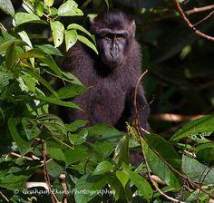 81cb1960ef805 Gorontalo Macaque   Dumoga-Bone Macaque (Macaca nigrescens) Macaco