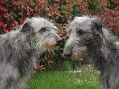 """Heralded as the """"Royal Dog of Scotland"""", the Scottish Deerhound is elegant, graceful and regal. He is a true gentleman and is a calm and polite dog. Border Terrier, Cairn Terrier, Clumber Spaniel, Flat Coated Retriever, Bearded Collie, Afghan Hound, Weimaraner, Bichon Frise, Large Animals"""