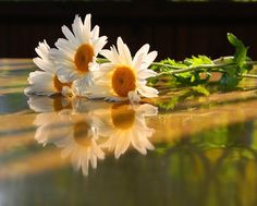 Daisies ... Discussion on LiveInternet - Russian Service Online diary