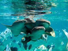 "Aww. =) ""Say 'cheese'"" - Nurse sharks by Carlos, Belize. Photo by Tynka."