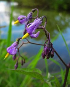If you want to know how to get rid of nightshade, you need to remember that it can be difficult but it is not impossible. Use the info found in this article to get rid of nightshade in the garden.