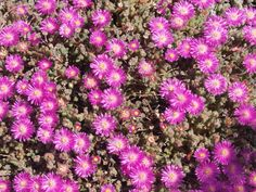 A list of drought tolerant or xerophytic plants for xeriscaping in South Africa - Plantinfo - EVERYTHING and ANYTHING about plants in SA Evergreen Groundcover, Tall Shrubs, Drought Tolerant Landscape, Coastal Gardens, Butterfly Bush, Jade Plants, Growing Succulents, Low Maintenance Landscaping, How To Attract Birds
