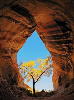 Cathedral in the Desert: The only cottonwood tree for miles around is nurtured and protected from a harsh environment by the cool, moist soil found in this unique, teardrop shaped sandstone alcove near the Utah/Arizona border