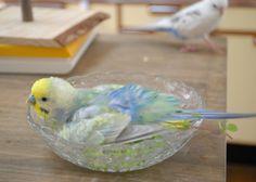 How to Take Care of a Budgie, Parakeet Funny Birds, Cute Birds, Pretty Birds, Beautiful Birds, Animals Beautiful, Budgie Parakeet, Budgies, Parrots, Cockatiel