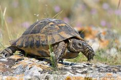 Mircea Bezergheanu Turtles, Photographers, Animals, Tortoises, Animales, Turtle, Animaux, Tortoise Turtle, Animais