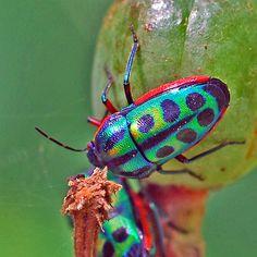 I want a rainbow shield of my own. Calidea dregii (Rainbow Shield Bug) - I like the colors of this bug Cool Insects, Bugs And Insects, Shield Bugs, Cool Bugs, Beetle Bug, Beautiful Bugs, Amphibians, Beautiful Creatures, Cute Animals