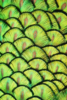 """""""Peacock Scales"""". Photo by Michael Fitzsimmons. Full portfolio at www.500px.com/MFitz"""