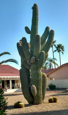 A spectacular Saguaro...named Bubba.