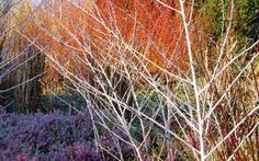 A winter garden is not complete without the brilliance of dogwood. Cambridge University Botanic Garden