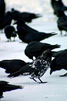 Rare piebald raven.