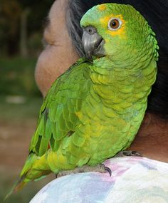 The blue-fronted amazon (Amazona aestiva), also called the turquoise-fronted amazon and blue-fronted parrot, is a South American species of amazon parrot and one of the most common amazon parrots kept in captivity as a pet or companion parrot