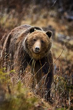 Grizzly in Jasper National Park ~ Alberta, Canada