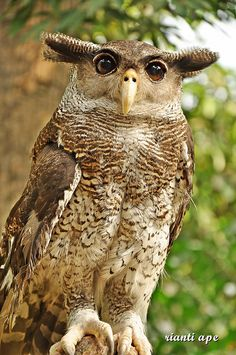 WOW    BARRED EAGLE OWL FROM SUMATRA ISLAND INDONESIA