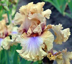 tall bearded iris 'nothing but class' *
