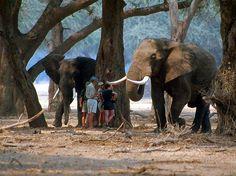 Mana Pools Walking Safari. Zimbabwe Places Of Interest, Zimbabwe, Wildlife Photography, Continents, Ethereal, Safari, Elephant, African, Adventure